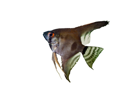 scalare: angelfish pterophyllum scalare aquarium fish isolated on a white background Stock Photo