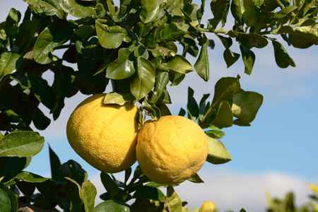 Pomelo fruit on the tree in garden