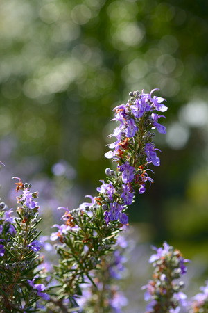 epicure: Closeup of blossoming Rosemary (Rosmarinus officinalis)
