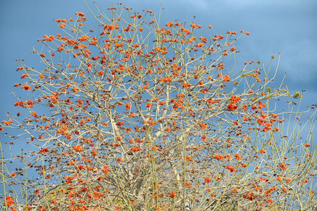 falcata: Erythrina caffra tree blossoming in Israel in the winter