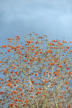 Erythrina caffra tree blossoming in Israel in the winter