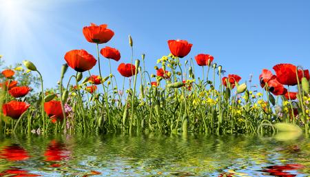 물에 반사와 아름 다운 붉은 곰 끌 꽃 스톡 콘텐츠 - 74857949