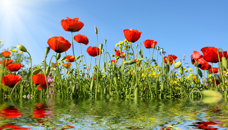 beautiful red anemone flowers with reflection in water