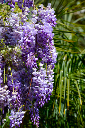 wisteria trellis in the garden at springtime, closeup