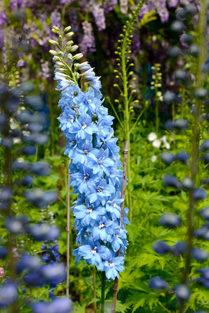 Bright blue delphinium flower perennial flowering plant blossoming bright blue delphinium flower perennial flowering plant blossoming in the huntington library park pasadena mightylinksfo
