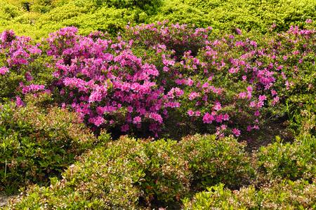 pasadena: Pink azalea bush blossoming in the Huntington Library Park. Pasadena, Los Angeles. Stock Photo