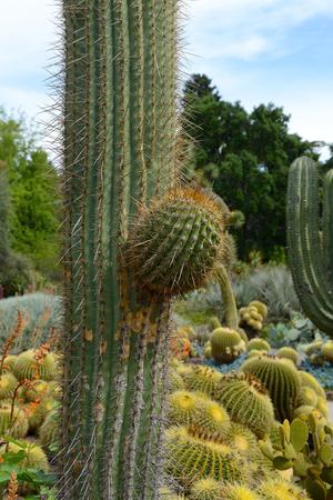 pasadena: Giant Saguaro Cactus, closeup. Hantington Library Park, Pasadena, USA. Stock Photo
