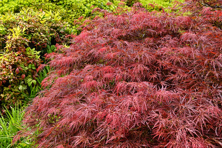 Red foliage of the weeping Laceleaf Japanese Maple tree (Acer palmatum) in the Huntington Library Park. Pasadena, USA.
