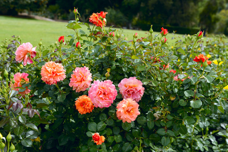 pasadena: Orange English Roses blossoming in the Huntington Labriry Park. Pasadena, Los Angeles.
