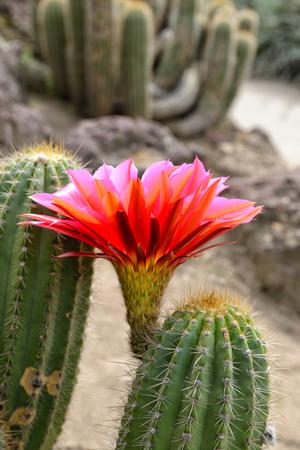 赤い花を開花、クローズ アップのサボテン砂漠の植物。 写真素材