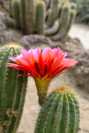 Cactus desert plant with blossoming red flower, closeup.