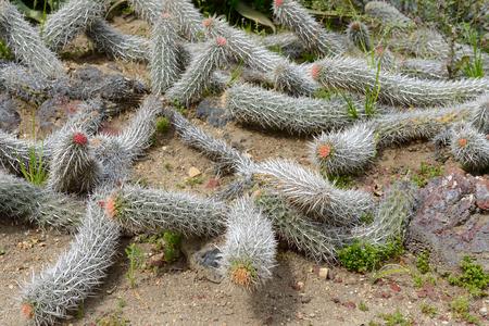 pasadena: Silver rat tail cactus plant (Cleistocactus winteri). Huntington Library Park, Pasadena, USA.