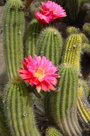 Cactus desert plant with blossoming red flowers, closeup.