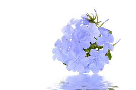 Cape leadwort or Blue plumbago flower isolated on white background Stock fotó