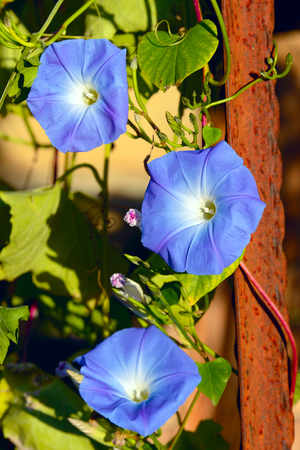 Blue, white and yellow Dwarf Morning Glory flower (or Bush Morning Glory, Bindweed). Its Latin name is Convolvulus Tricolor, native to western Mediterranean area.