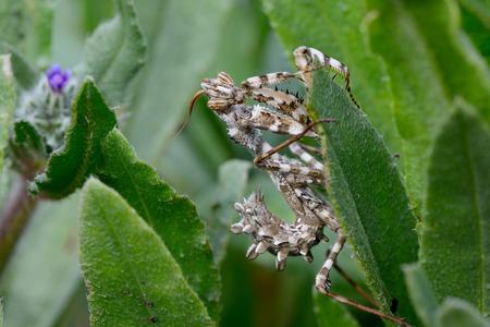 Devils flower mantis (Blepharopsis mendica) on a leaf.