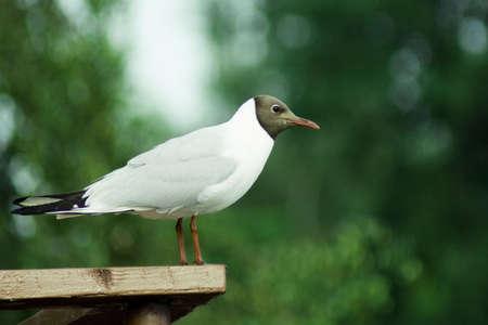 ridibundus: Lake seagull (Larus ridibundus) costs against trees Stock Photo