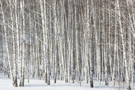 elasticidad: gran bosque de abedules en la primavera en la nieve
