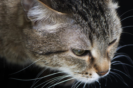 close-up of grey cat with stripes and letter M on looks, on black background