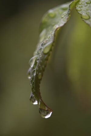 A macro view of the water on a green leaf. The water is going into a big drop and will soon fall. The leaf is mostly green, but theres a little red