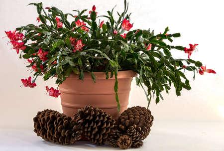 Christmas cactus on white Reklamní fotografie