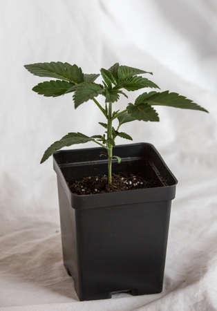 Marijuana clone Фото со стока