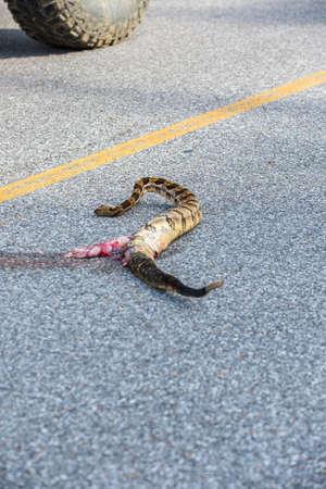 Rattlesnake road kill