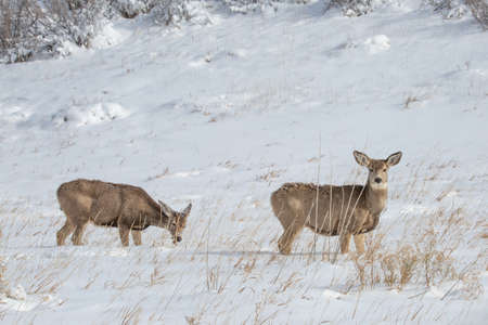 North american White-tailed Mule deer Stock Photo