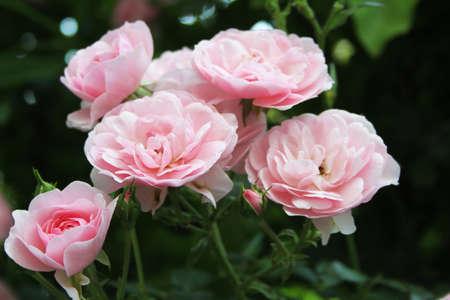 Close image of pink rosebush photo
