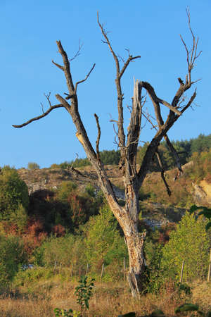 Lonely dead tree in autumn forest photo