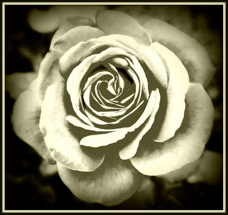 Beautiful rose abstract background, black and white effect Stock Photo - 15905990