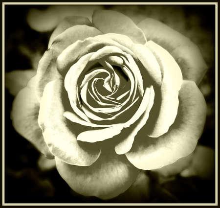 Bella rosa sfondo astratto, effetto bianco e nero