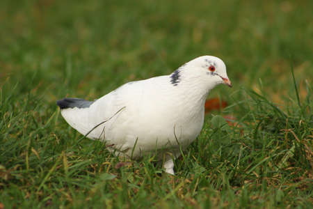 White pigeon on the grass photo