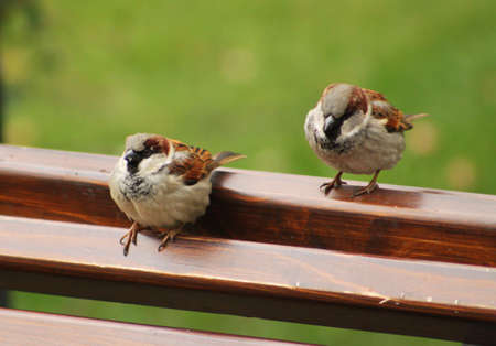 Close up picture of a little sparrow on wooden bench in the park photo
