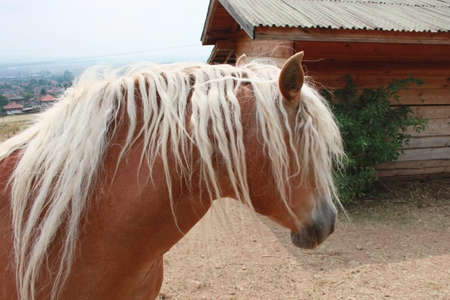 Closeup picture of a horse head with white mane photo