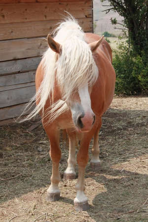 muck: Closeup picture of a horse head with white mane