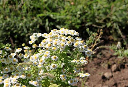 White daisies outdoor