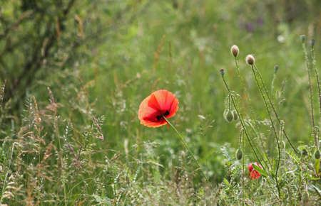 A beautiful single red poppy in nature
