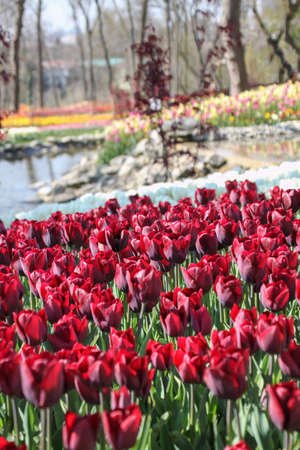 Colorful field of tulips, outdoor shot 免版税图像