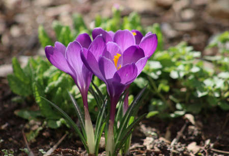 Closeup picture of a bunch of purple crocuses outdoor