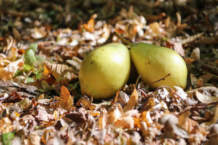 Picture of yellow ripe pears on a carpet of autumn leaves
