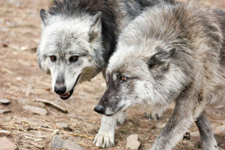 loner: Grey Wolves pair walking next to each other with heads together Stock Photo