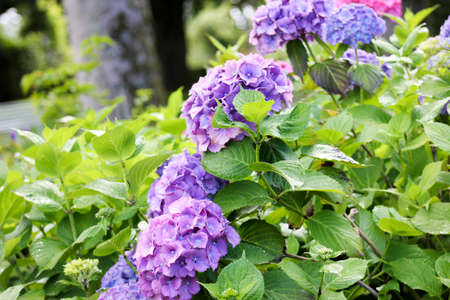 hydrangea macrophylla: Purple, pink and blue hydrangea macrophylla surrounded by green leaves Stock Photo