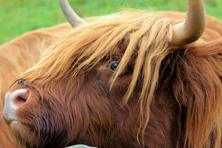 animal hair: Highland cow with wavy red coat and long horns close up of head
