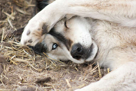 mountain peek: Black and white hybrid wolf with bright blue eye hides face under paw while lying down