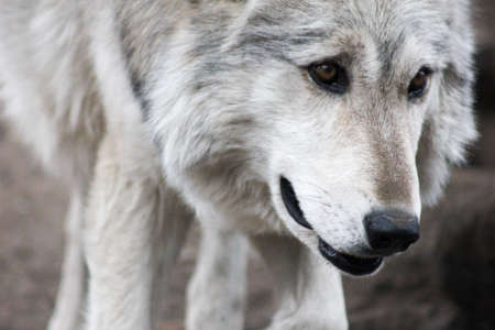 forlorn: Lone grey wolf walking toward camera looking away with forlorn expression Stock Photo