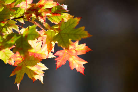 Fall leaves changing color against dark blurred background