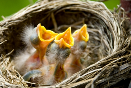 Three hungry baby Robins in a nest wanting the mother bird to come and feed them, copy space