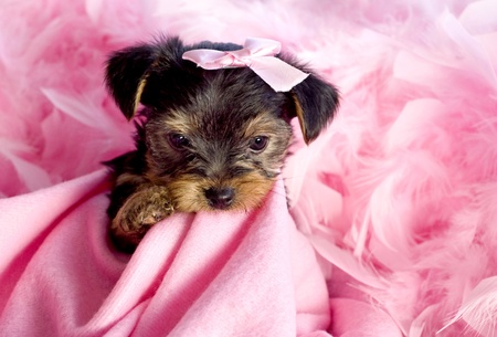 Yorkshire Terrier Puppy chewing on pink blanket with pink bow and feather boa, cute, background space