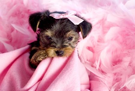 lazo rosa: Yorkshire Terrier Puppy masticar Rosa manta con arco rosado y boa feather, lindo, espacio de fondo
